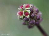 Sanguisorba minor subsp. minor - Kleine pimpernel