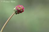 Sanguisorba minor subsp. minor - Kleine pimpernel vrwl bloeiwijze