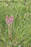 Orobanche caryophyllacea - Walstrobremraap