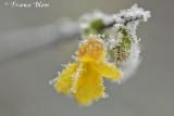 Winterjasmijn