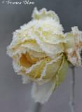 Bevroren witte roos