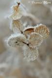 Rijp op hortensia