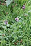 Stachys palustris - Moerasandoorn