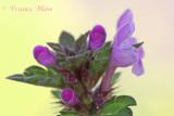 Lamium hybridum - Ingesneden dovenetel