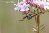 Vliegen, bijen, wespen, hommels, e.d. - Flies, bees, wasps, bumblebees etc.