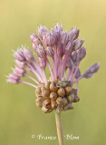 Allium vineale - Kraailook