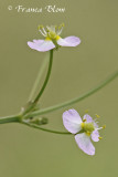 Alisma plantago-aquatica - Waterweegbree