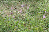 Dianthus superbus  - Prachtanjer