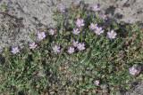 Spergularia rubra - rode schijnspurrie