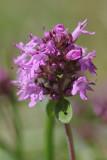 Thymus pulegioides - grote tijm