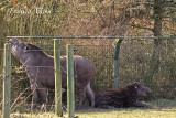 Tapir met jong