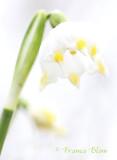Leucojum vernum - Lenteklokje