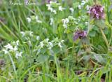 Lamium purpureum - Paarse dovenetel (forma albiflora - witbloemige variant)