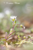 Cerastium semidecandrum - Zandhoornbloem