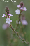 Verbena officinalis - IJzerhard
