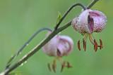 Lilium martagon - Turkse lelie