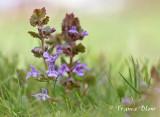 Glechoma hederacea - Hondsdraf