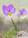 Viola curtisii - Duinviooltje.
