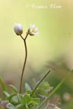 Erophila verna - Vroegeling