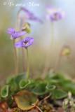 Viola canina - Hondsviooltje