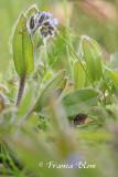 Myosotis ramosissima - Ruw vergeetmijnietje