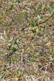 Salix repens - Kruipwilg (m)
