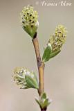Salix repens - Kruipwilg (v)