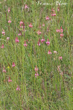 Onobrychis viciifolia - Esparcette