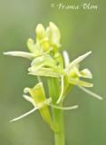 Liparis loeselii - Groenknolorchis