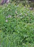 Persicaria bistorta - Adderwortel