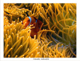 Clownfish and Anemone.jpg