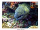 Moray Eel.jpg