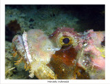Red Scorpionfish up close.jpg
