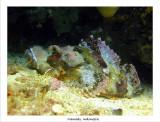 Red scorpionfish.jpg