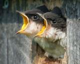 Tree Swallow Chicks