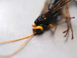 Ichneumon Wasp Megarhyssa atrata