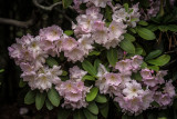 May 2013 : Rhododendrons