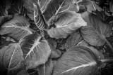 May 2014 : Skunk Cabbage