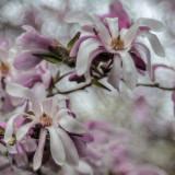 Magnolia Loebneri 20150430-_DSC7960.jpg