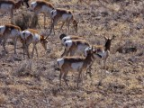 Antilope herd