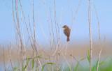 Stäppsångare - Booted Warbler