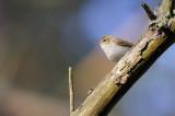 Lundsångare - Greenish Warbler