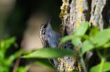 Trädkrypare (Certhia familiaris)