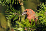 Mindre korsnäbb - Common Crossbill