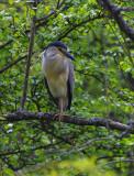 Natthäger - Black-crowned Night-heron