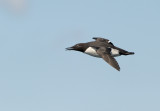Sillgrissla - Common Guillemot