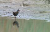 Vattenrall (Rallus aquaticus)