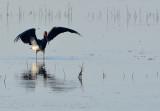 Svart stork - Black Stork (Ciconia nigra)