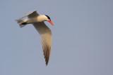 Skräntärna - Caspian Tern