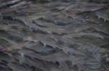 Mört (Rutilus rutilus) - Common Roach